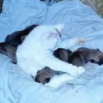 Мама кошка для щенков бульмастифа