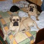 Два бульмастифа и черный кот! Спят вместе