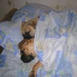 Спят усталые бульмастифы...